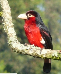 double toothed barbet (not author's photo!)