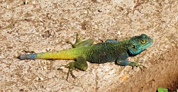 ACME Lake Kivu lizard